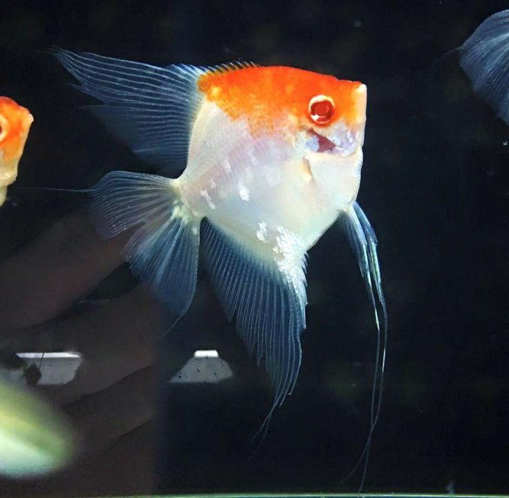 El escalare, un precioso pez rey de cualquier acuario