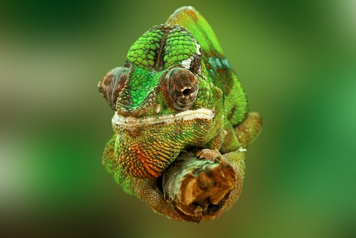 Camaleones: reptiles maestros del camuflaje