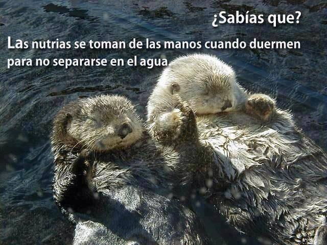 Sabías que las nutrias se toman de las manos cuando duermen para no separarse en el agua.