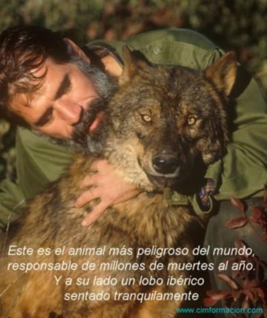 Este es el animal más peligroso del mundo, responsable de millones de muertes al año. Y a su lado un lobo ibérico sentado tranquilamente.