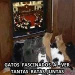 Gatos fascinados al ver tantas ratas juntas