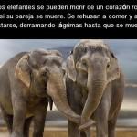 Los elefantes derraman lágrimas por su pareja