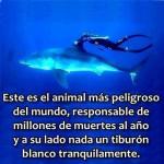 Este es el animal más peligroso del mundo, responsable de millones de muertes al año, y a su lado nada un tiburón blanco tranquilamente