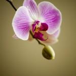 atraccion-plantas-orquidea