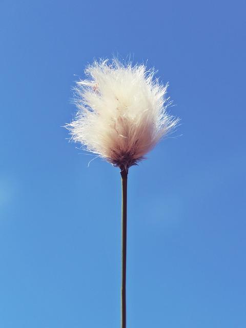 flor-algodon