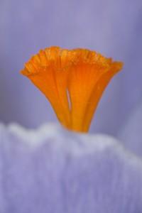 flor-azafran