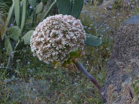 inflorescence-aeonium
