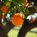 naranjo-arboles